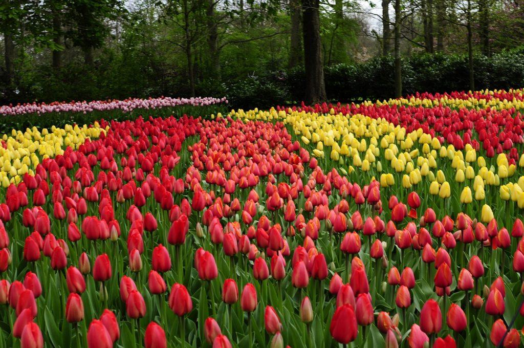 zaanse schans chasing whereabouts amsterdam holland tulip